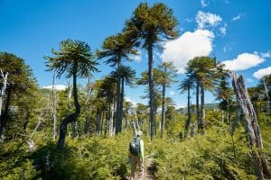 araucaria trees chile