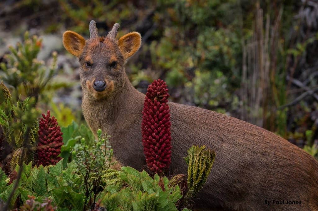 Pudu deer at Route of Parks of Patagonia