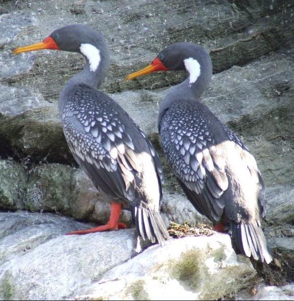 cormorant lile
